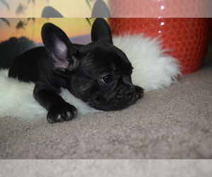 French Bulldog Dog for Adoption in VALLEJO, California USA