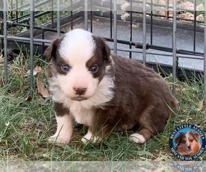 Miniature Australian Shepherd Puppy for Sale in GRANBURY, Texas USA
