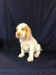 Spinone Italiano Puppy For Sale in CLEVELAND, OH, USA