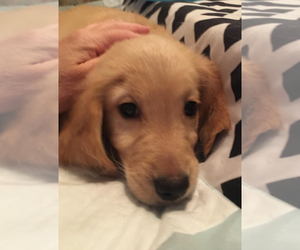 Golden Retriever Puppy for Sale in ORLANDO, Florida USA