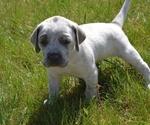 Puppy 5 Australian Cattle Dog-Treeing Walker Coonhound Mix