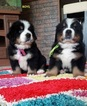 Bernese Mountain Dog Puppy For Sale in LAWRENCEVILLE, GA, USA