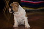 Bulldog Puppy For Sale in DYERSBURG, TN