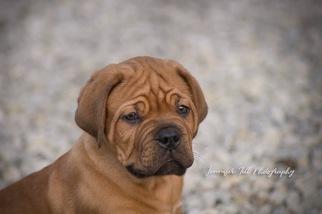 Dogue de Bordeaux Puppy For Sale in HUDSON, OH