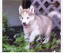 Siberian Husky Puppy For Sale in DUBLIN, OH, USA