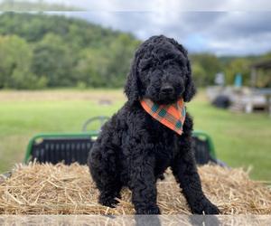 Goldendoodle Puppy for Sale in FERGUSON, North Carolina USA