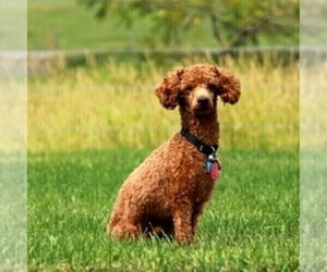 Father of the Labradoodle-Poodle (Miniature) Mix puppies born on 06/26/2020