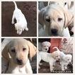 Labrador Retriever Puppy For Sale in FORSYTH, GA, USA