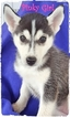 Siberian Husky Puppy For Sale in QUINLAN, TX