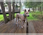 Small Photo #7 Thai Ridgeback Puppy For Sale in Owen Sound, Ontario, Canada