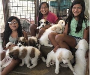 Pyredoodle Puppy for Sale in ANZA, California USA