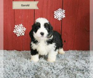 Bernese Mountain Dog Dog for Adoption in LOUISVILLE, Kentucky USA