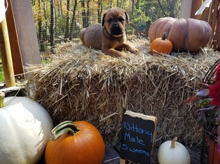 Bullmastiff-Rottweiler Mix Puppy For Sale in MORGANTOWN, PA, USA