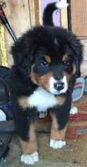 Bernese Mountain Dog Puppy For Sale in RICHLAND CENTER, WI, USA
