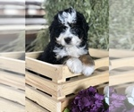 Puppy 4 Miniature Bernedoodle
