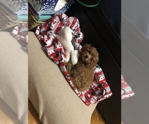Poodle (Standard) Puppy for sale in BARRY SQUARE, CT, USA