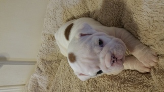 Bulldog Puppy For Sale in ENID, OK