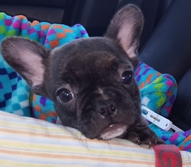 French Bulldog Puppy for sale in STAPLETON, AL, USA