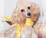 Small Photo #5 Maltipoo Puppy For Sale in EMIT, NC, USA