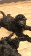 Goldendoodle Puppy For Sale in ARLINGTON, TX, USA