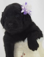 Goldendoodle Puppy For Sale in OMAHA, NE, USA