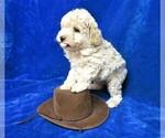 Puppy 3 Poodle (Miniature)