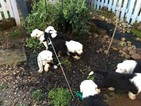Old English Sheepdog Puppy For Sale in DENVER, CO, USA