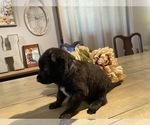 Small #16 Dutch Shepherd Dog