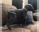 Puppy 9 Great Dane
