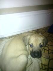 Cane Corso Puppy for sale in BRIDGETON, NJ, USA