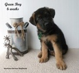 German Shepherd Dog Puppy For Sale in MANHATTAN, KS, USA