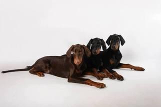 Doberman Pinscher Puppy For Sale in BEDFORD, NH, USA