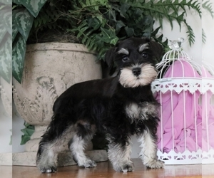 Miniature French Schnauzer Puppy for sale in LOS ANGELES, CA, USA