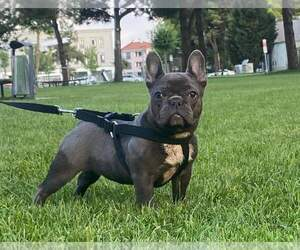 Mother of the French Bulldog puppies born on 08/22/2021
