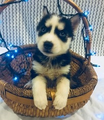Siberian Husky Puppy For Sale in INMAN, SC, USA