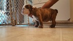 Bulldog Puppy For Sale in MODESTO, CA, USA