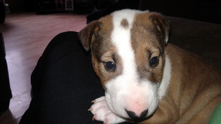 Bull Terrier Puppy for sale in ALVATON, KY, USA