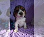 Small #17 Beagle