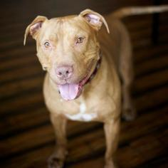Darwin-Courtesy Post - American Staffordshire Terrier Dog For Adoption