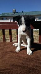 Border Collie Puppy For Sale in DRY FORK, UT, USA