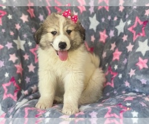 Great Pyrenees Puppy for sale in LAKELAND, FL, USA