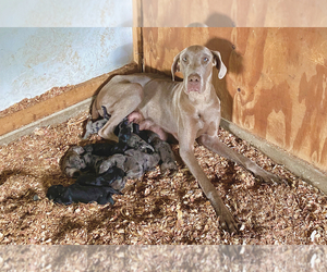 Mother of the Great Dane puppies born on 06/15/2020
