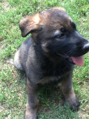 German Shepherd Dog Puppy For Sale in CARTHAGE, TN