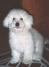 Bichon Frise Puppy for sale in COLUMBIA, MD, USA