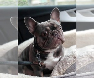 Father of the French Bulldog puppies born on 01/05/2020