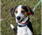 Small #17 Treeing Walker Coonhound