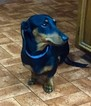 Dachshund Puppy For Sale in SUMTER, SC, USA