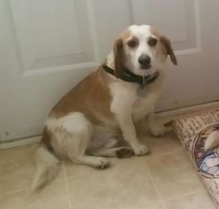 Beagle Dogs for adoption in RALEIGH, NC, USA