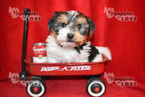 Biewer Terrier Puppy For Sale in SANGER, TX, USA