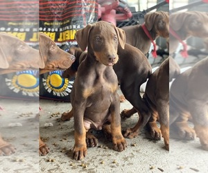 Doberman Pinscher Puppy for sale in RICHMOND, CA, USA